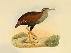 250px-Nesoclopeus.poecilopterus.ofgh
