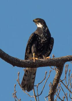 Black Sparrowhawk female Meadowridge S. Morris