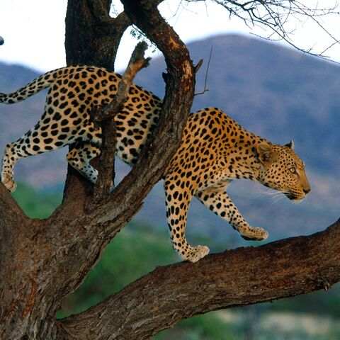 A Leopard in a tree.