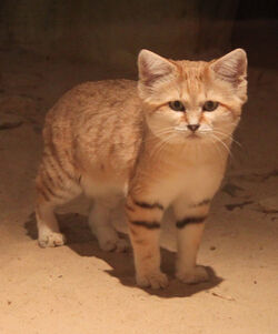Sand cat by lemonsandsparrows-d4k9r3n