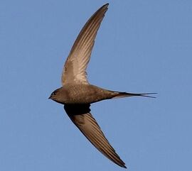 African palm swift Cypsiurus parvus