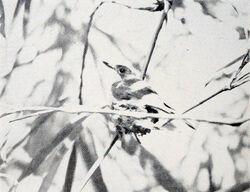 Myiagra freycineti