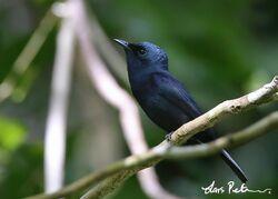 6338 Biak Black Flycatcher Myiagra atra Biak, West Papua, Indonesia 20130716 3 600