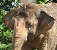 Asian Elephant Image 001