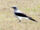 Ground Cuckooshrike
