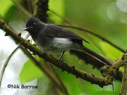 White-bellied-Crested-Flycatcher