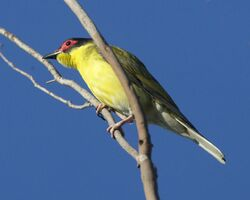 Figbird (Sphecotheres viridis) - Flickr - Lip Kee (3)