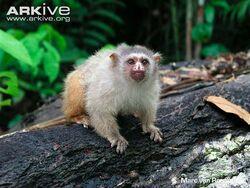Manicoré-marmoset
