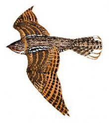 05 29 030 Caprimulgus salvini flying m