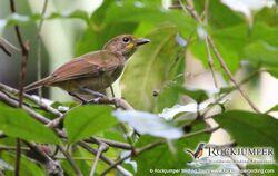 Fiji-Shrikebill-by-Andrew-Sutherland