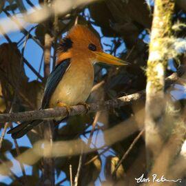 3568 Mountain Kingfisher Syma megarhyncha sellamontis Satop, Huon Peninsula, Papua New Guinea 20140720 4 600