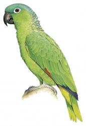 105 088 04 55 325 Amazona guatemalae guatemalae
