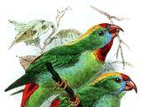 Cebu Hanging Parrot