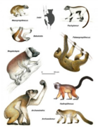Giant Lemurs of Madagascar illustration