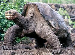 Pinta Island tortoise3