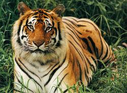 Bengal-tiger-3 z2s