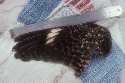 Nechisar nightjar wing