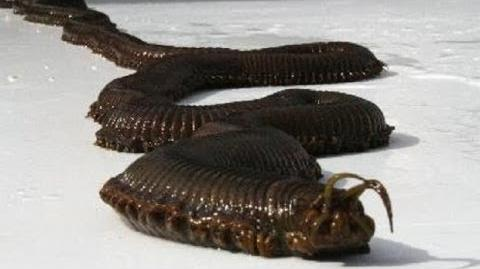 Giant Sea Worm - Bobbit Worm