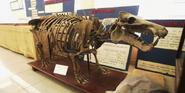 Hippopotamus lemerlei skeleton in Malagasy Academy