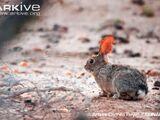 San Jose Brush Rabbit