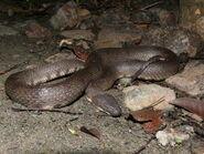 Cerberus rynchops Andamans