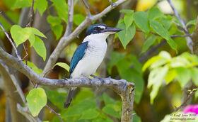 Collared Kingfisher ( Todiramphus chloris ) Ssp santoensis VA-COKI-01 Aore Island Vanuatu May 2010-L