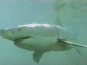 Great White swimming in South China Sea