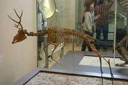 Ramoceros osborni skeleton