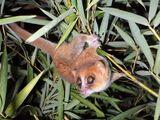 Marohita Mouse Lemur