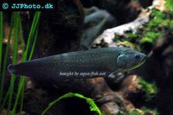 Reticulate-knifefish-profile