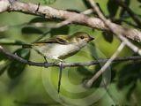 Green Tinkerbird