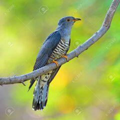 57178212-beautiful-bird-himalayan-cuckoo-cuculus-saturatus-perching-on-a-branch-bird-of-thailand