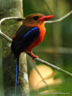 Kingfisher Paradise Brown-headed -003