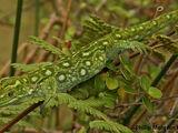 Lewis Pass Green Gecko