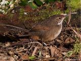 Noisy Scrubbird
