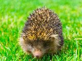 Gaoligong Forest Hedgehog