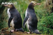 Yellow-eyed-penguin-pair