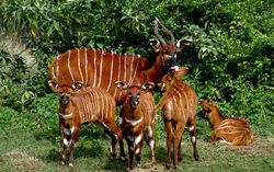 Four bongo calves with nanny