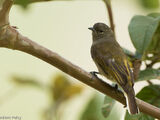Cassin's Honeybird