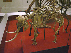 250px-Cretanelephant-petermaas