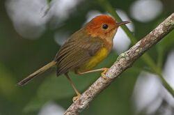 550px-Rufous-headed Tailorbird