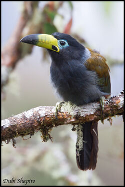 Hooded Mt. Toucan