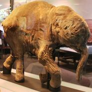 Lyuba, a baby mammoth discovered in 2007 in Siberia