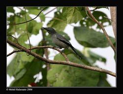 550px-Buru Cuckooshrike