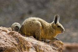 Bolivian vizcacha