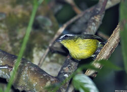 Yellow-bellied-Tyrannulet-catemaco 0975
