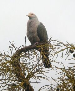 Asr ph imp pigeon