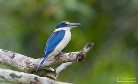 Collared Kingfisher ( Todiramphus chloris ) Ssp PNG-COKI-01 Tong Island PNG April 2013-L