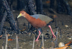 Rufous-necked Wood-Rail