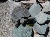 Armenian Tortoise
